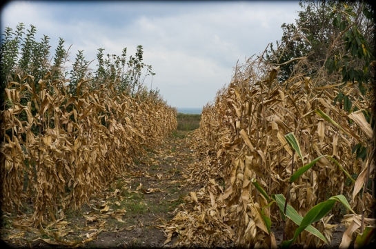 Corn stalks, plateau, Black Sea, and horizon; Village of Kamen Bryag, Bulgaria; 2014. Fuji X100 with +1.4 tele-adaptor. Click on image to enlarge
